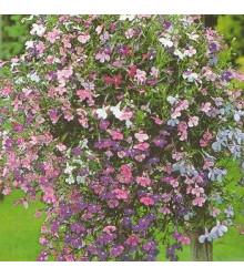Lobelka převislá Color Cascade - Lobelia erinus pendula - prodej semen - 0,1 g