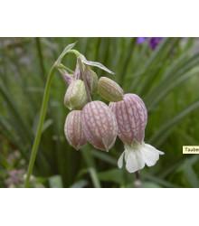 Silenka nadmutá - Silene vulgaris - prodej semen - 0,5 g