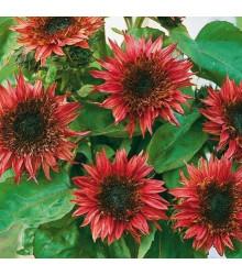 Slunečnice roční F1 červená Double dandy - Helianthus annuus - prodej semen - 6 ks