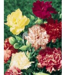 Hvozdík trpaslíčí mix barev - Dianthus caryophyllus - prodej semen - 130 ks