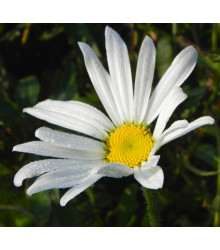 Kopretina bílá - Chrysanthemum leucanthemum - prodej semen - 200 ks
