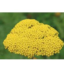 Řebříček tužebníkový Parkers žlutý - Achillea filipendulina - prodej semen - 0,5 g
