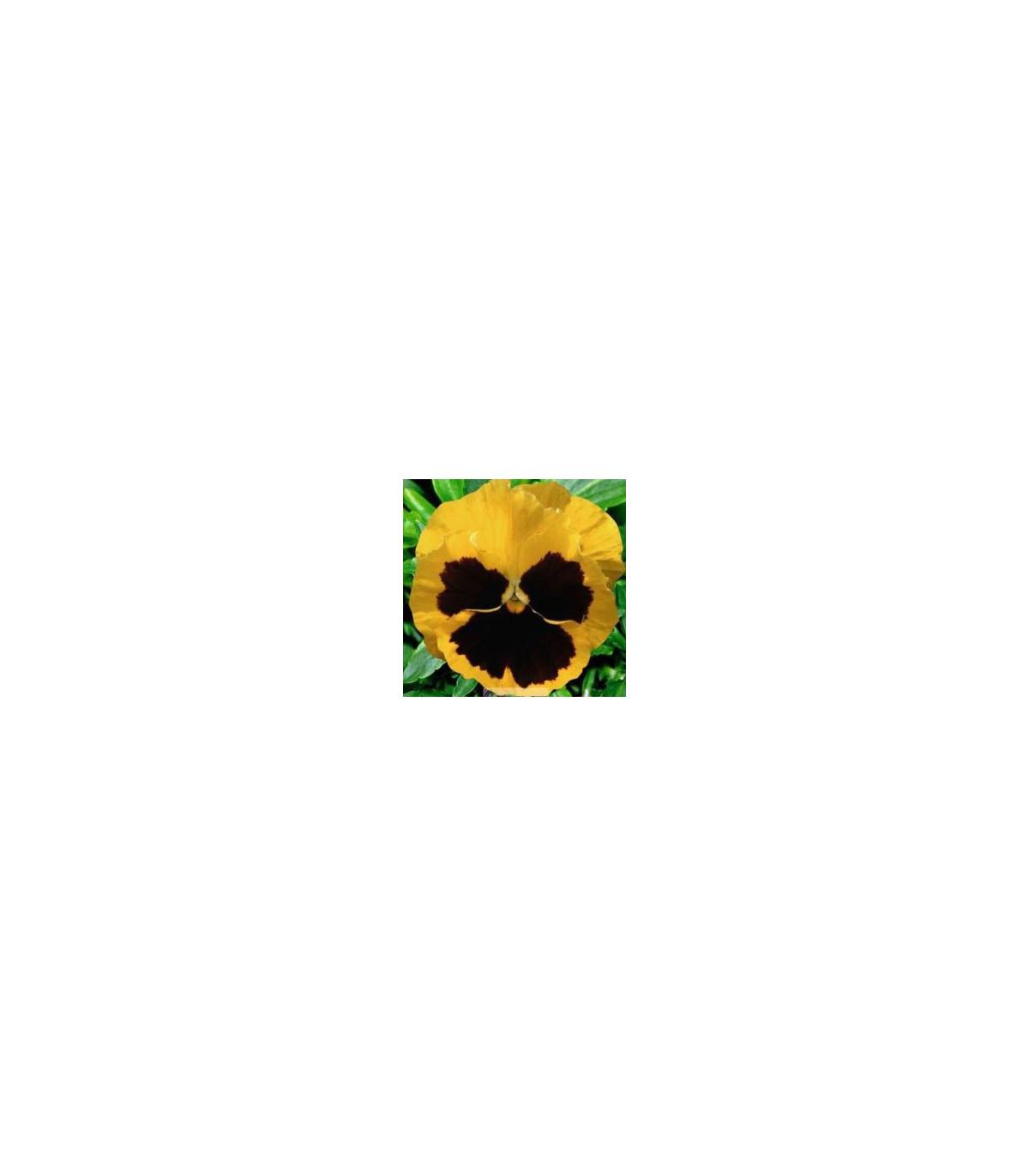Maceška Schweizer Riesen Goldgelb - Viola wittrockiana - prodej semen - 200 ks