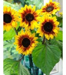 Slunečnice roční Helios - Helianthus annuus - prodej semen - 7 ks