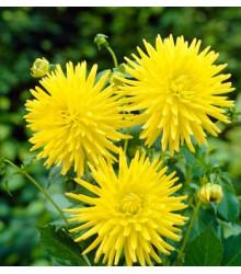 Jiřinka Kenemerland žlutá - Dahlia - prodej cibulovin - 1 ks