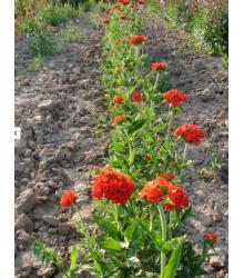 Červená louka Červánková - prodej semen - 50 g