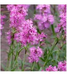 Kohoutek alpský - Lychnis alpina - prodej semen - 20 ks