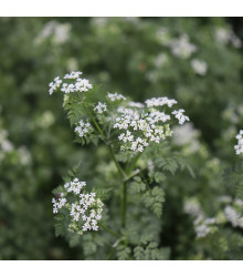 BIO semena kerblík - Anthriscus cerefolium - prodej bio semen - 0,8 g