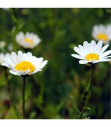 Kopretina balkónová bílá - Chrysanthemum paludosum - prodej semen - 500 ks