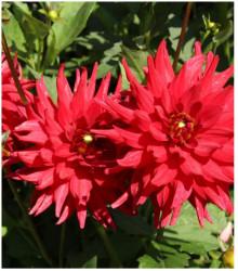 Jiřinka Pigmy červená - Dahlia - prodej cibulovin - 1 ks