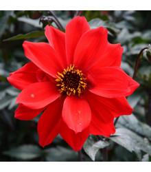 Jiřinka Topmix červená - Dahlia - prodej cibulovin - 1 ks