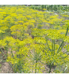 BIO fenykl kořeninový - Foeniculum ssp. - prodej bio semen - 0,3 g