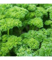 BIO Petržel Zelená Perla - Petroselinum crispum - prodej semen - 1 g
