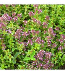 BIO Tymián - Thymus vulgaris bio - prodej semen - 0,3 g