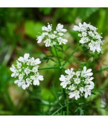 BIO Koriandr setý - Coriandrum sativum - prodej bio semen - 100 ks