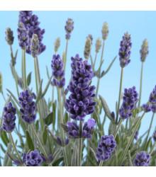 Semínka bio levandule - Lavandula - BIO levandule lékařská - prodej bio semen - 50 ks