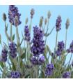 Semínka bio levandule - Lavandula - BIO levandule lékařská - prodej bio semen - 20 ks