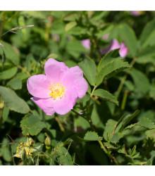 Růže nutkanská - Rosa nutkana - prodej semen - 5 ks