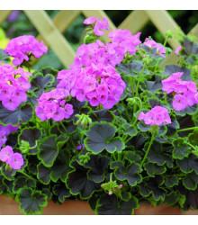 Muškát páskatý Nekita F1 Pink - Pelargonium zonale - prodej semen - 4 ks