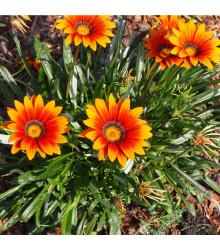 Gazánie zářivá směs barev - Gazania splendes - prodej semen - 50 ks