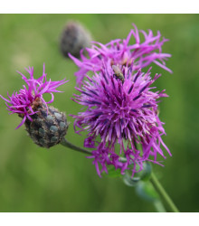 Chrpa čekánek - Centaurea scabiosa - prodej semen - 80 ks