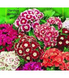 Hvozdík jednoduchý směs - Dianthus barbatus - prodej semen - 300 ks