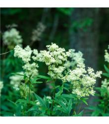 Tužebník jilmový - Filipendula ulmaria - prodej semen - 8 ks