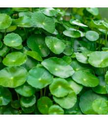 Gotu Kola - Centella asiatica - prodej semen - 4 ks