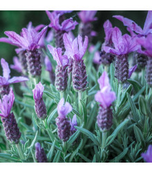 Levandule francouzská - Lavandula stoechas - semena - 20 ks