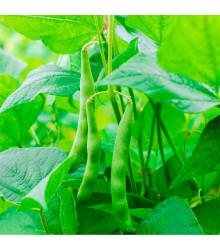 Fazol keříčkový Maxi zelený - Phaselous vulgaris - prodej semen - 30 ks