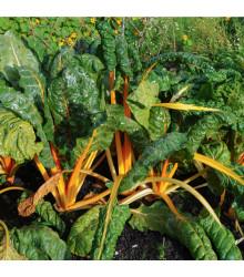 Mangold žlutý Giallo - Beta vulgaris - prodej semen - 30 ks