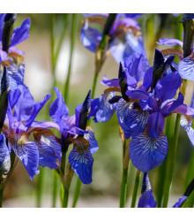 Kosatec Little Sapphire - Iris pumila - prodej cibulovin - 1 ks