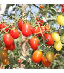 Rajče Tom Red - Solanum lycopersicum - prodej semen - 8 Ks