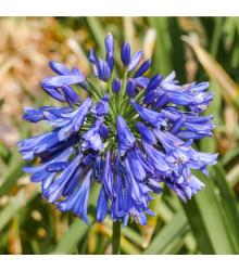 Kalokvět modrý - Agapanthus praecox - prodej semen - 8 ks
