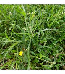 Křez úzkolistý Grazia - Divoká Roketa - Diplotaxis tenuifolia - prodej semen - 20 ks