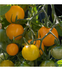 Rajče Tom Yellow - Solanum lycopersicum - prodej semen - 8 Ks