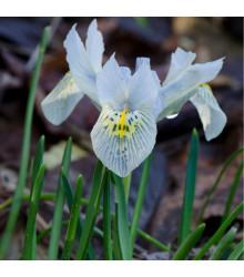 Kosatec síťkovaný bílý - Iris reticulata - prodej cibulovin - 3 ks