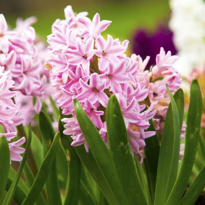 Hyacint Fondant - Hyacintus fondante - prodej cibulovin - 1 ks