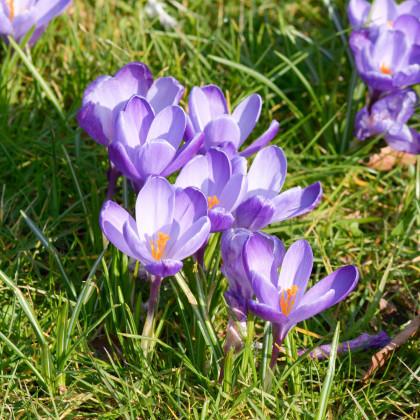 Šafrán setý - Crocus sativus - prodej cibulovin - 3 ks
