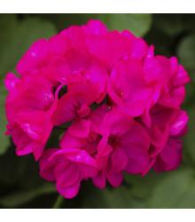 Muškát páskatý Nekita F1 Deep Rose - Pelargonium zonale - prodej semen - 4 ks