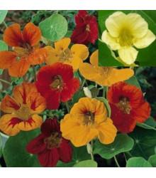 Lichořeřišnice větší Lobbianum směs barev - Tropaeolum majus - prodej semen - 10 ks