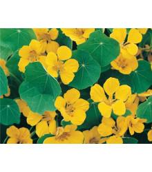 Lichořeřišnice nízká Tip Top Gold - Kapucínka - Tropaeolum minus - prodej semen - 10 ks