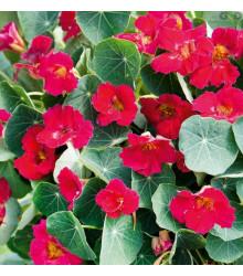 Lichořeřišnice růžová Baby deep rose - Kapucínka - Tropaeolum minus - prodej semen - 8 ks