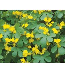 Lichořeřišnice vysoká kanárská - Kapucínka - Tropaeolum peregrinum - semínka - 10 ks