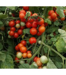 Rajče Bajaja keříčkové - Solanum lycopersicum - prodej semen - 12 ks