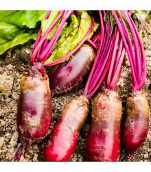 BIO Řepa salátová válcovitá Forono - Beta vulgaris - prodej BIO semen  - 100 ks