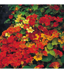 Lichořeřišnice směs barev - Tropaeolum majus naunum - prodej semen - 10 ks
