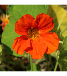 Lichořeřišnice Jewel Cherry Rose - Kapucínka - Tropaeolum minus - prodej semen - 10 ks