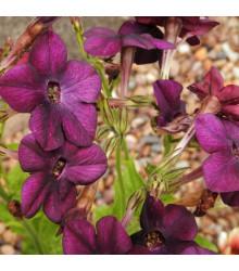 Semínka tabáku - Tabák okrasný vonící Deep purple F1 - Tabák okrasný - prodej semen - 50 ks
