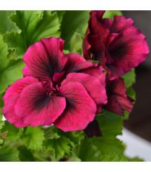 Muškát páskatý F1 Black Velvet Violet - Pelargonium zonale - prodej semen - 6 ks